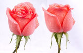 Imagem de fundo de rosas — Foto Stock