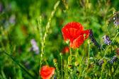 Red poppy flowers in summer — Stock Photo