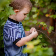 Little boy collects berries in the garden — Stock Photo