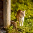 Cat on the grass near a wooden house — Stock Photo