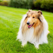Collie dog in the park — Stock Photo