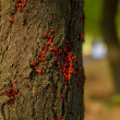 Red beetle on a tree trunk — Stock Photo