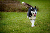 Running husky dog — Stock Photo