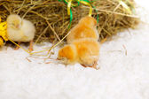 Chickens in the manger — Stock Photo