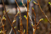Currant branch with buds — Stock Photo