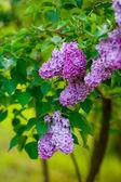 Çiçek leylak — Stok fotoğraf