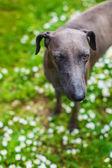 English greyhound — Stock Photo