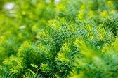 Landscaping, Thuja — Stock Photo