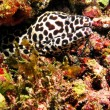 Stock Photo: Maldives, Sep 10: A beautiful spotted moray into maldivian coral