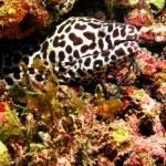 Maldives, Sep 10: A beautiful spotted moray into maldivian coral — Stock Photo
