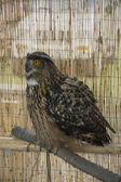 Eagle Owl perched on the wood — Stockfoto