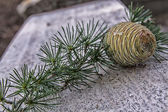 The pine — Stock Photo