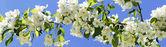 Apple-tree flowering. Panorama. — Stock Photo