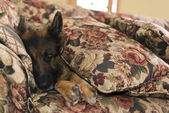 German shepherd dog covered with sofa pillows — Stock Photo
