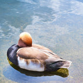 Waterfowl bird in a water pond — Stock Photo