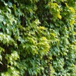 Stock Photo: Parthenocissus tendril climbing decorative plant