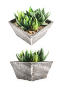 Aloe house plant in a pot, isolated — Stock Photo