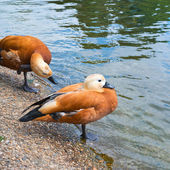 Pair of two brown ducks — Stock Photo