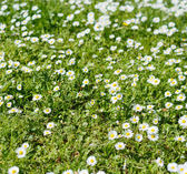 Chamomile in a grass close-up — Stock Photo