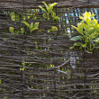Stock Photo: Green leaves growing throught wicker wall