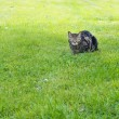 Domestic cat in a grass — Stock Photo