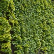 Parthenocissus tendril climbing decorative plant — Stock Photo