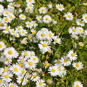 Composition of chamomile in a grass — Stock Photo