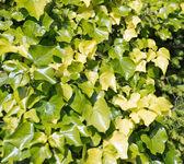 Green close-up bush leaves — Stock Photo