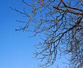 Ramas del árbol contra el cielo azul — Foto de Stock