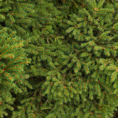Fir-needle tree branches — Stock Photo