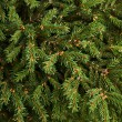 Stock Photo: Fir-needle tree branches