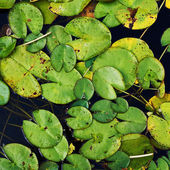 Water lily nymphaea leaves — Stock Photo