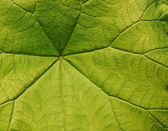 Green leave close-up — Stock Photo