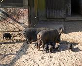 Female pig feeding piglings — Stock Photo