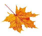 Maple-leaf isolated over white — Stock Photo