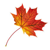 Maple-leaf isolated over white — Stock Photo