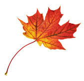 Maple-leaf isolated over white — Stockfoto