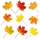 Autumn maple-leaf set isolated — Stock Photo