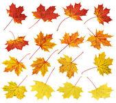 Autumn maple-leaf set isolated — Stock Photo