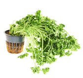 Sear green parsley isolated — Stock Photo