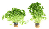 Fresh green parsley isolated — Foto de Stock
