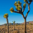 Joshua Tree in Joshua Tree National Park, California, USA — Stock Photo