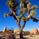 Joshua Tree in Joshua Tree National Park, California, USA — Stock Photo