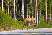 Elk in the Jungle in Yellowstone National Park,USA — Stock Photo