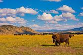 Paradiso di bisonte nel parco nazionale di yellowstone, usa — Foto Stock