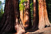 Dev sequoias yosemite milli parkı — Stok fotoğraf