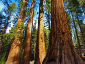 Giant Sequoias in Yosemite National Park — Stock Photo