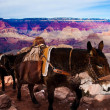 Mules Climbing up with Goods in Grand Canyon National Park in Arizona, USA — Stock Photo #24554463