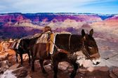 Mules Climbing up with Goods in Grand Canyon National Park in Arizona, USA — Stock Photo