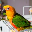 Cute Sun Conure and Green Cheek Conure - Стоковая фотография